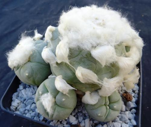 Lophophora diffusa cv. Long Hair